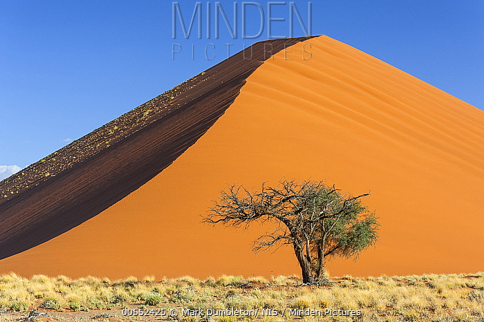 Camelthorn Acacia (Acacia erioloba) tree near sand dune, Sossuvlei Dunes, Namib-Naukluft National Park, Namibia