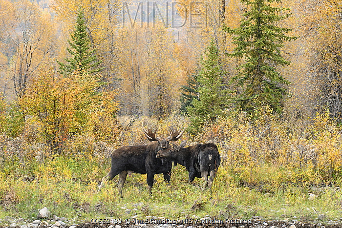 Moose (Alces alces shirasi) pair courting during rut, Grand Teton National Park, Wyoming