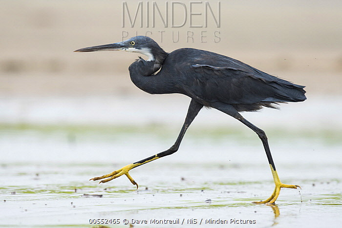 Western Reef-Egret (Egretta gularis) walking on beach, Cape Point, Gambia