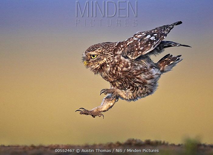 Little Owl (Athene noctua) landing, Lancashire, United Kingdom
