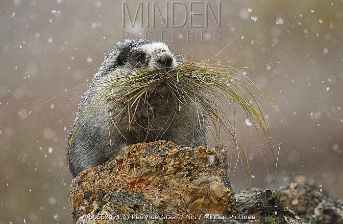 Hoary Marmot (Marmota caligata) carrying grasses during snowfall, Denali National Park, Alaska