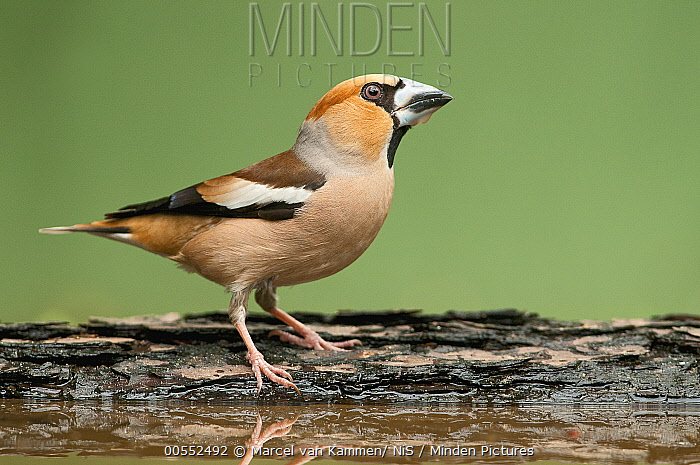 Hawfinch (Coccothraustes coccothraustes) male, Gelderland, Netherlands