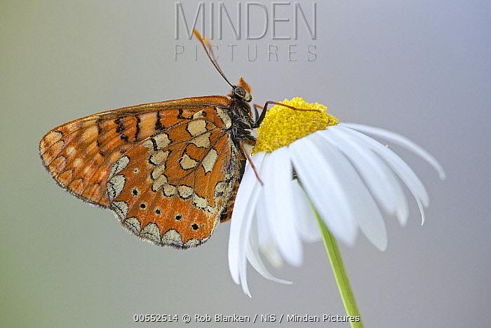 Marsh Fritillary (Euphydryas aurinia) butterfly, Andalusia, Spain