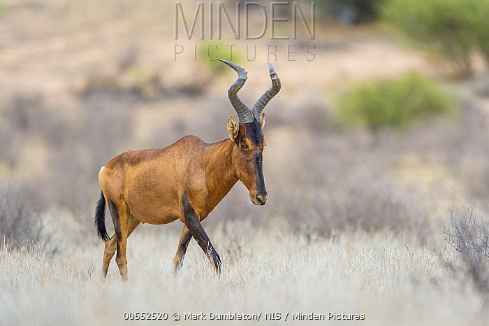 Common Hartebeest (Alcelaphus buselaphus), Kgalagadi Transfrontier Park, South Africa