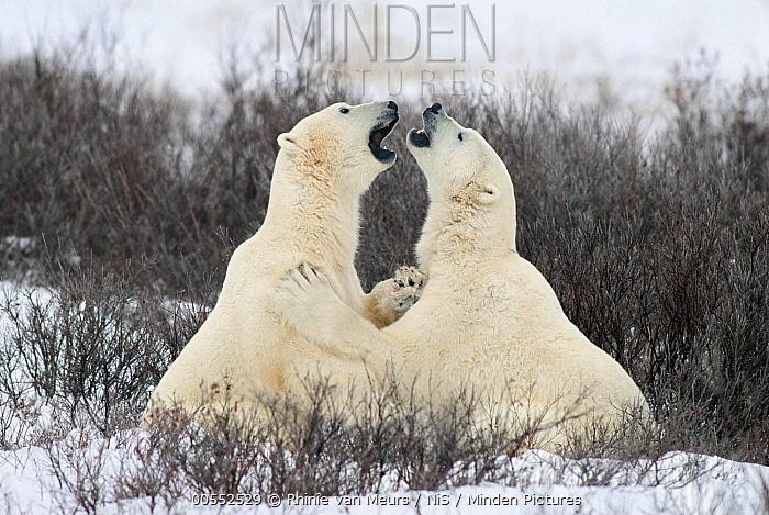 Polar Bear (Ursus maritimus) pair fighting, Churchill, Canada