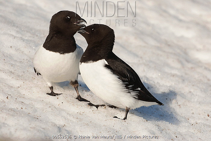 Little Auk (Alle alle) pair courting on ice, Svalbard, Norway