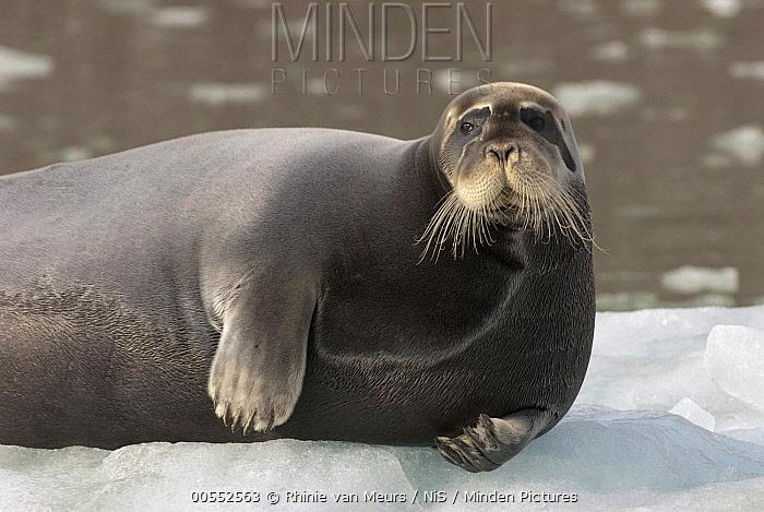 Bearded Seal (Erignathus barbatus) on ice, Svalbard, Norway