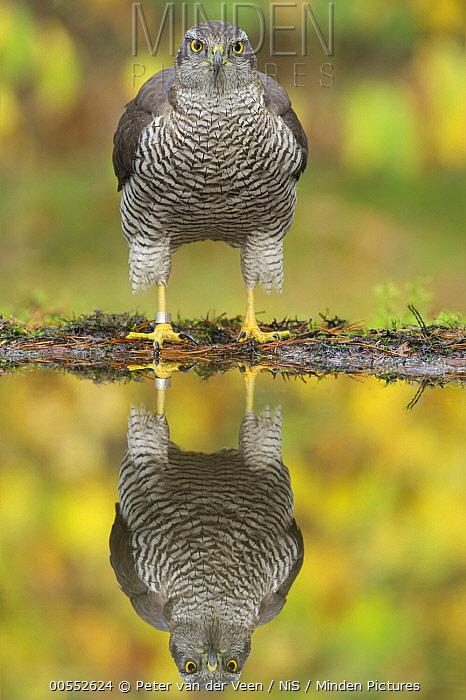 Northern Goshawk (Accipiter gentilis) at pond, Netherlands