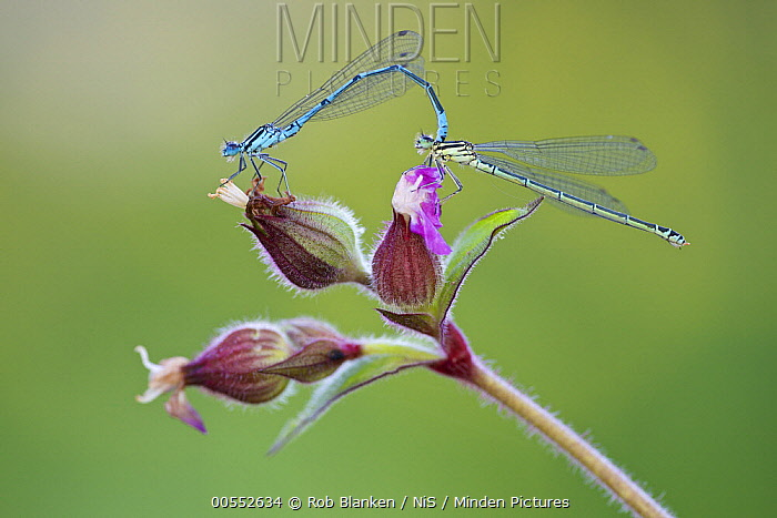 Azure Damselfly (Coenagrion puella) pair mating on Red Campion (Silene dioica), Friesland, Netherlands