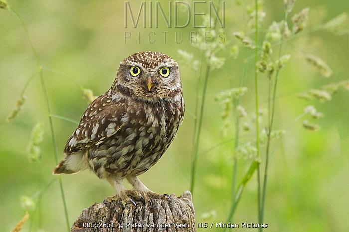Little Owl (Athene noctua), Gelderland, Netherlands
