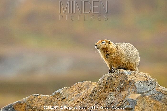 Arctic Ground Squirrel (Spermophilus parryii), Denali National Park, Alaska