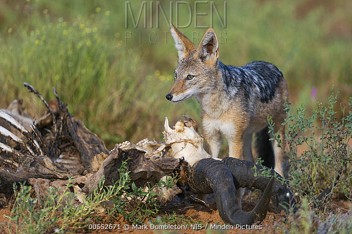 Black-backed Jackal (Canis mesomelas) feeding on Common Hartebeest (Alcelaphus buselaphus) carcass, Kgalagadi Transfrontier Park, South Africa