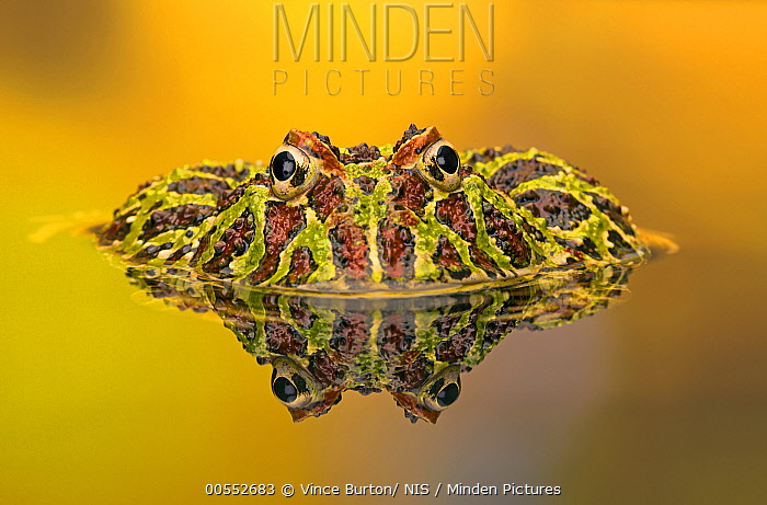 Cranwell's Horned Frog (Ceratophrys cranwelli) in pool, native to South America