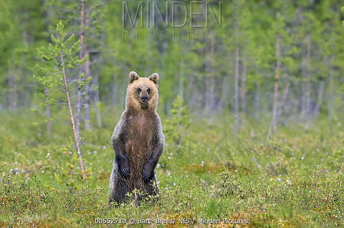 Brown Bear (Ursus arctos) standing in taiga, Finland