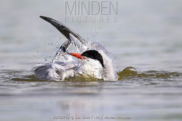 Common Tern (Sterna hirundo) bathing, Noord-Holland, Netherlands