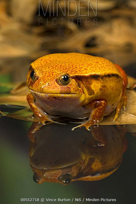 False Tomato Frog (Dyscophus guineti), native to Madagascar