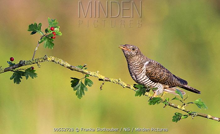 Common Cuckoo (Cuculus canorus) feldgling, Noord-Holland, Netherlands