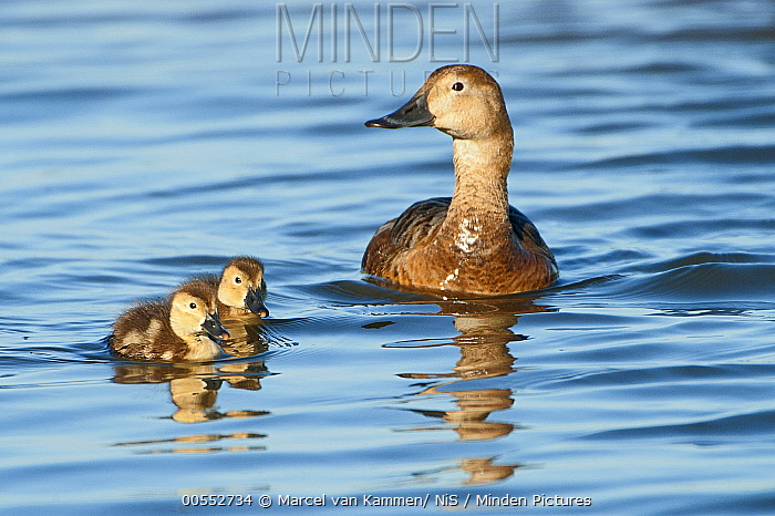 Common Pochard (Aythya ferina) mother and ducklings, Noord-Holland, Netherlands