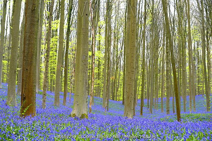 English Bluebell (Hyacinthoides nonscripta) flowering in European Beech (Fagus sylvatica) forest, Halle, Belgium