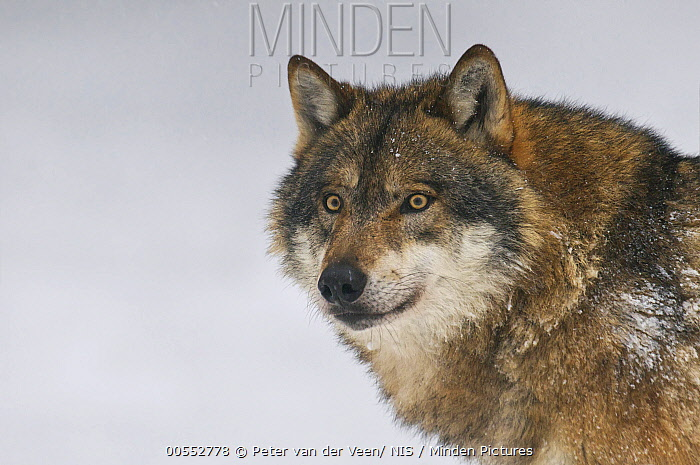 European Wolf (Canis lupus) in winter, Bavaria, Germany