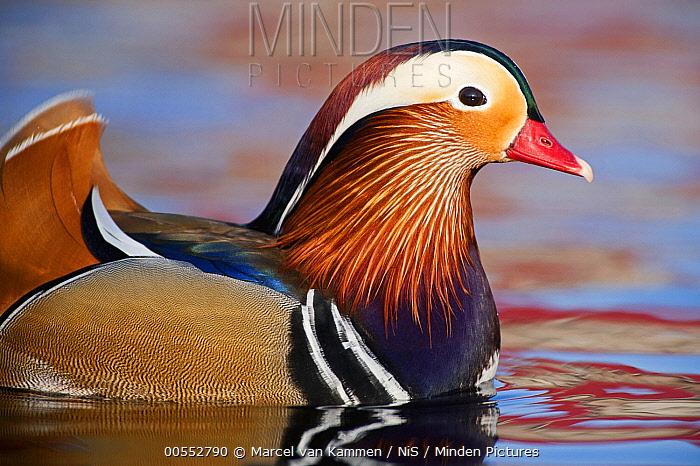 Mandarin Duck (Aix galericulata) male, Friesland, Netherlands