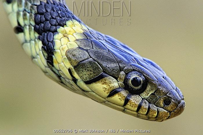 Grass Snake (Natrix Natrix), Lincolnshire, England