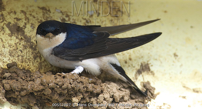 Common House Martin (Delichon urbicum) at nest, Lesvos, Greece