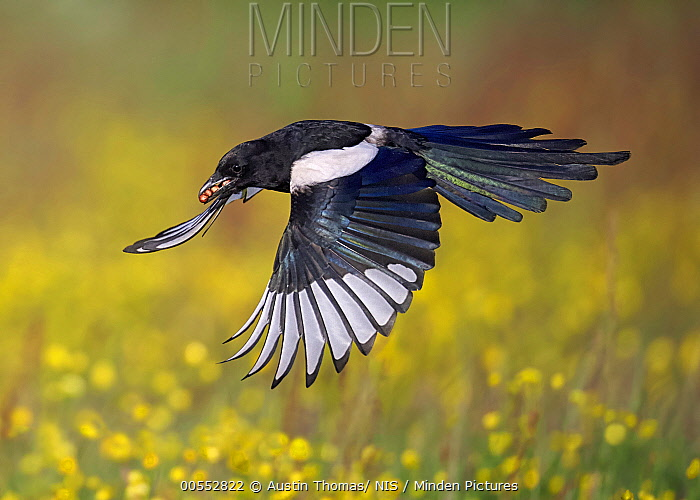 European Magpie (Pica pica) flying with prey