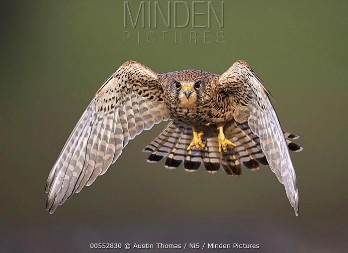 Eurasian Kestrel (Falco tinnunculus) flying