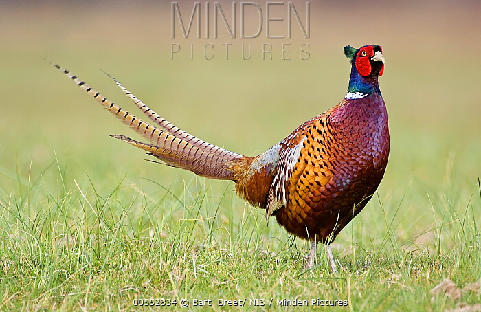 Ring-necked Pheasant (Phasianus colchicus) male, Noord-Holland, Netherlands