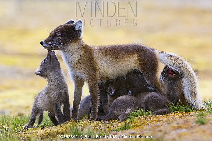 Arctic Fox (Alopex lagopus) mother nursing pups, Svalbard, Norway