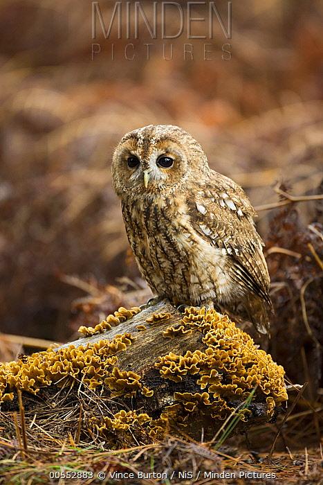 Tawny Owl (Strix aluco), Suffolk, England