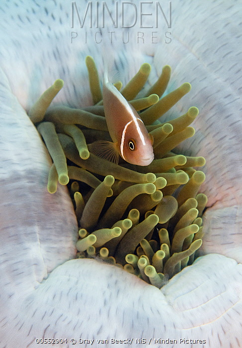 Pink Anemonefish (Amphiprion perideraion) in Magnificent Sea Anemone (Heteractis magnifica), Bali, Indonesia