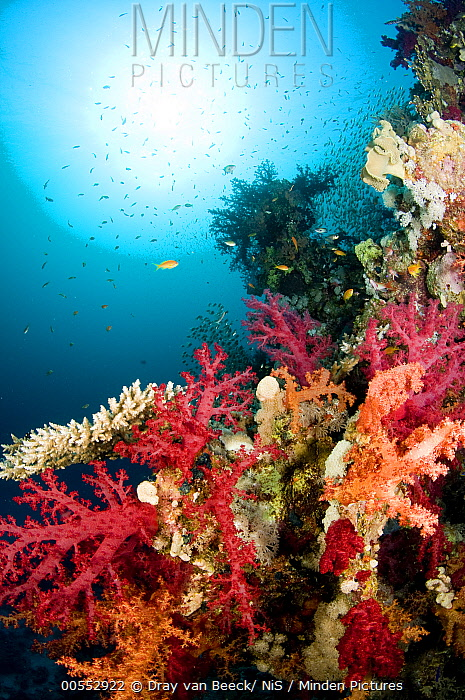 Soft Coral on reef, Ras Mohammed National Park, Red Sea, Egypt