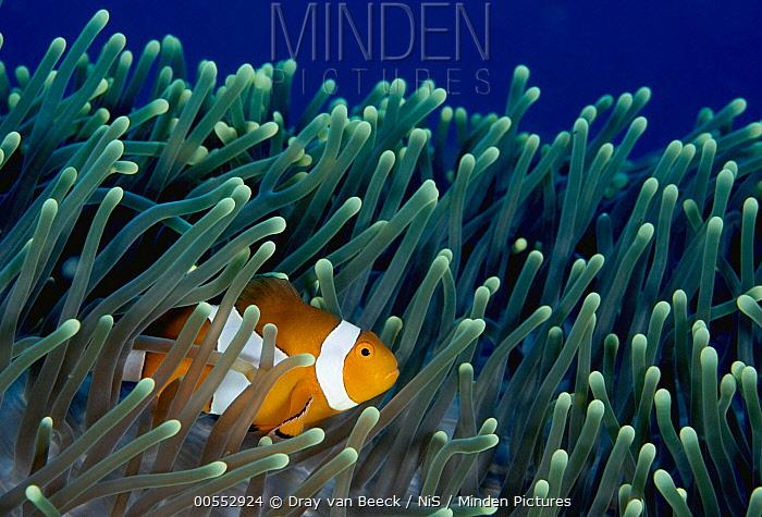 Clown Anemonefish (Amphiprion ocellaris) in Magnificent Sea Anemone (Heteractis magnifica), Deep Middle Reef, Pemuteran, Bali, Indonesia