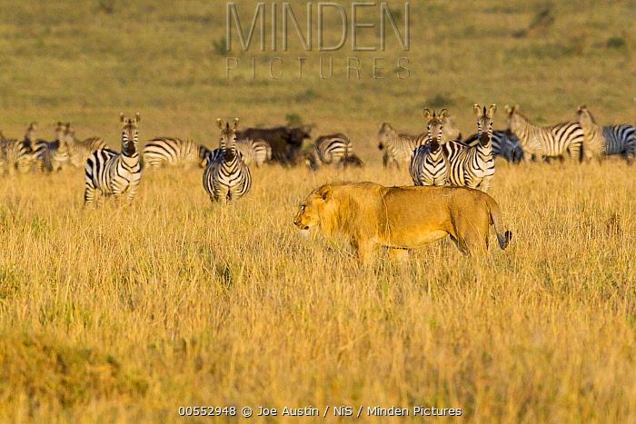 African Lion (Panthera leo) male walking near Zebra (Equus quagga) herd, Masai Mara, Kenya