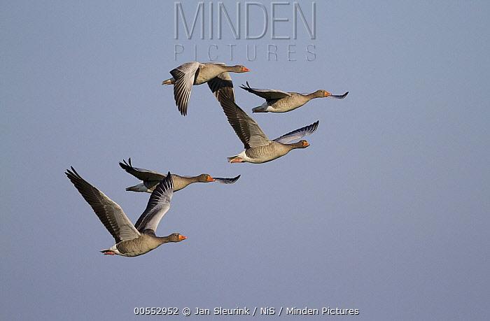Greylag Goose (Anser anser) group flying, Gelderland, Netherlands