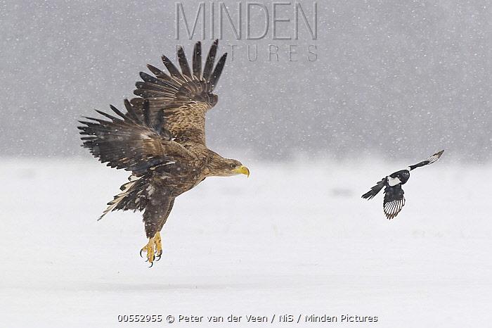 White-tailed Eagle (Haliaeetus albicilla) chased by European Magpie (Pica pica), Poland