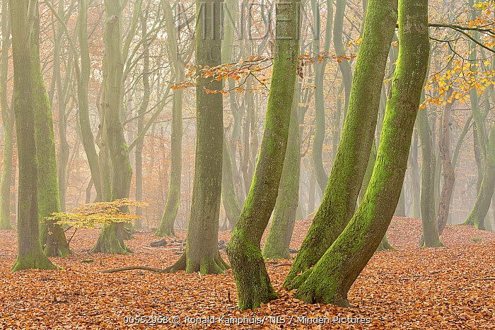 European Beech (Fagus sylvatica) with moss in forest in autumn, Gelderland, Netherlands  -  Ronald Camphius