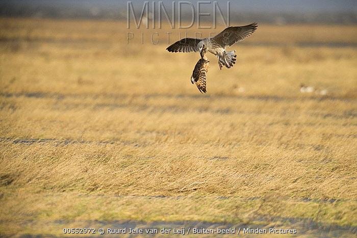 Great Black-backed Gull (Larus marinus) carrying Short-eared Owl (Asio flammeus) prey, Friesland, Netherlands  -  Ruurd Jelle van der Leij/ Buiten-beeld