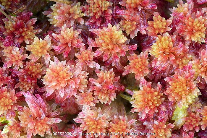 Prairie Sphagnum Moss (Sphagnum palustre), Isle Of Skye, Scotland