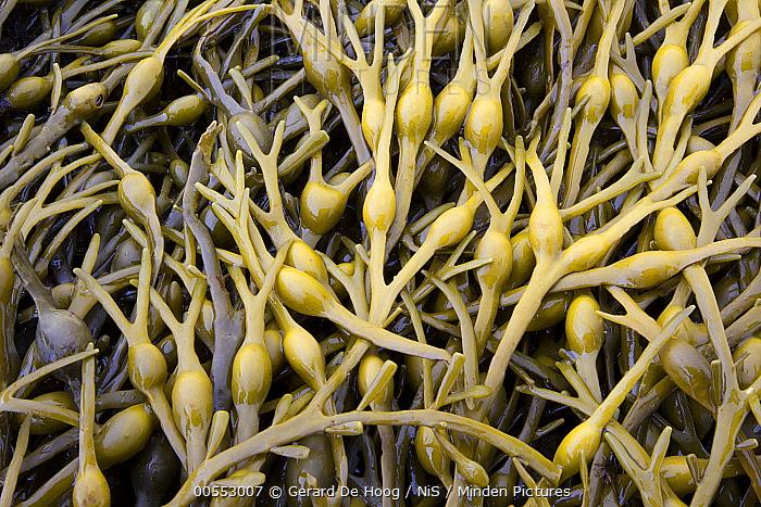 Knotted Wrack (Ascophyllum nodosum) on beach, Isle Of Skye, Scotland