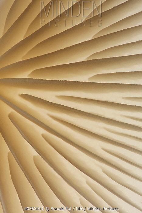 Porcelain Mushroom (Oudemansiella mucida) gills, Overijssel, Netherlands