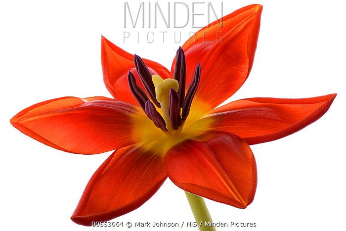 Tulip (Tulipa sp) flower, England