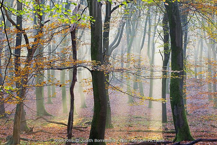 European Beech (Fagus sylvatica) forest at sunrise, Gelderland, Netherlands