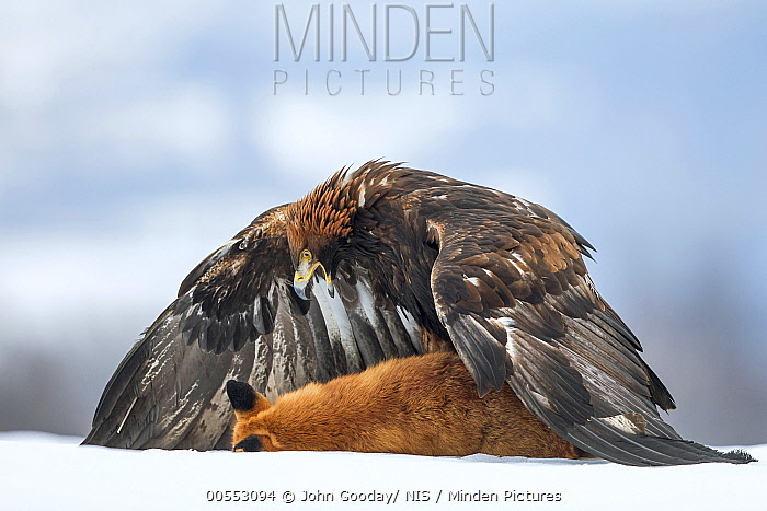 Golden Eagle (Aquila chrysaetos) guarding Red Fox (Vulpes vulpes) carcass, Zdarske Vrchy, Czech Republic