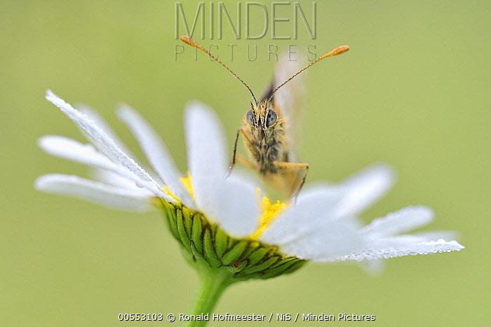 Heath Fritillary (Melitaea athalia) male on Common Daisy (Bellis perennis) flower, Eifel, Germany