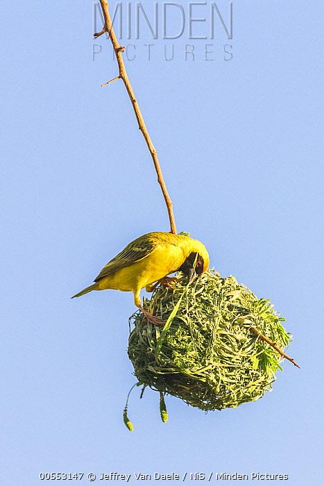 Masked-Weaver (Ploceus velatus) building nesting, Oshikoto, Namibia