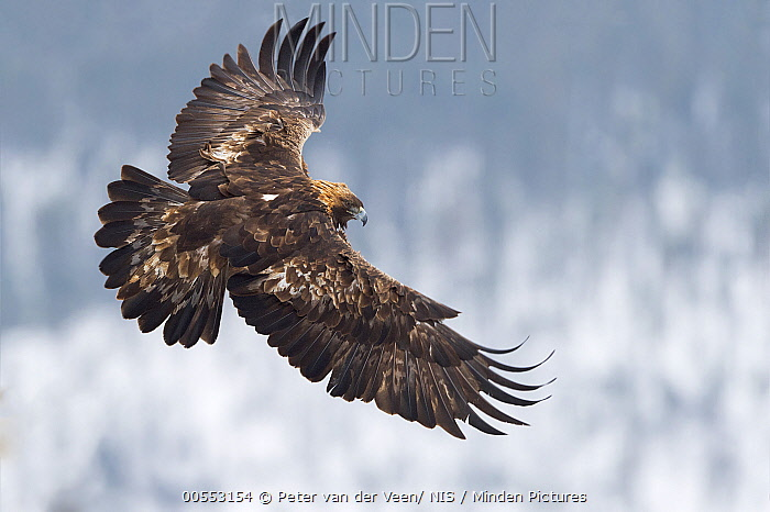 Golden Eagle (Aquila chrysaetos) flying, Kuusamo, Finland