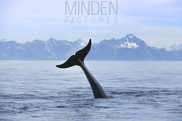 Long-finned Pilot Whale (Globicephala melas) tail lobbing, Vesteralen, Norway